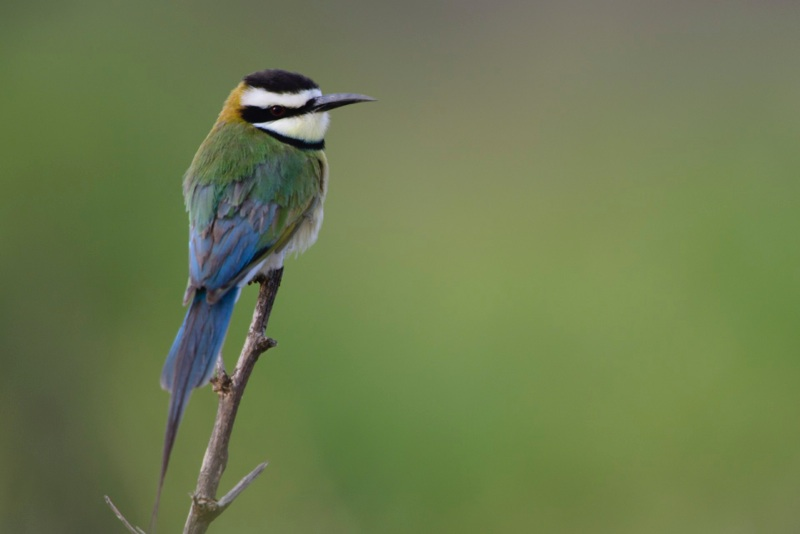 Bee-eater%20White-throated_2.jpg